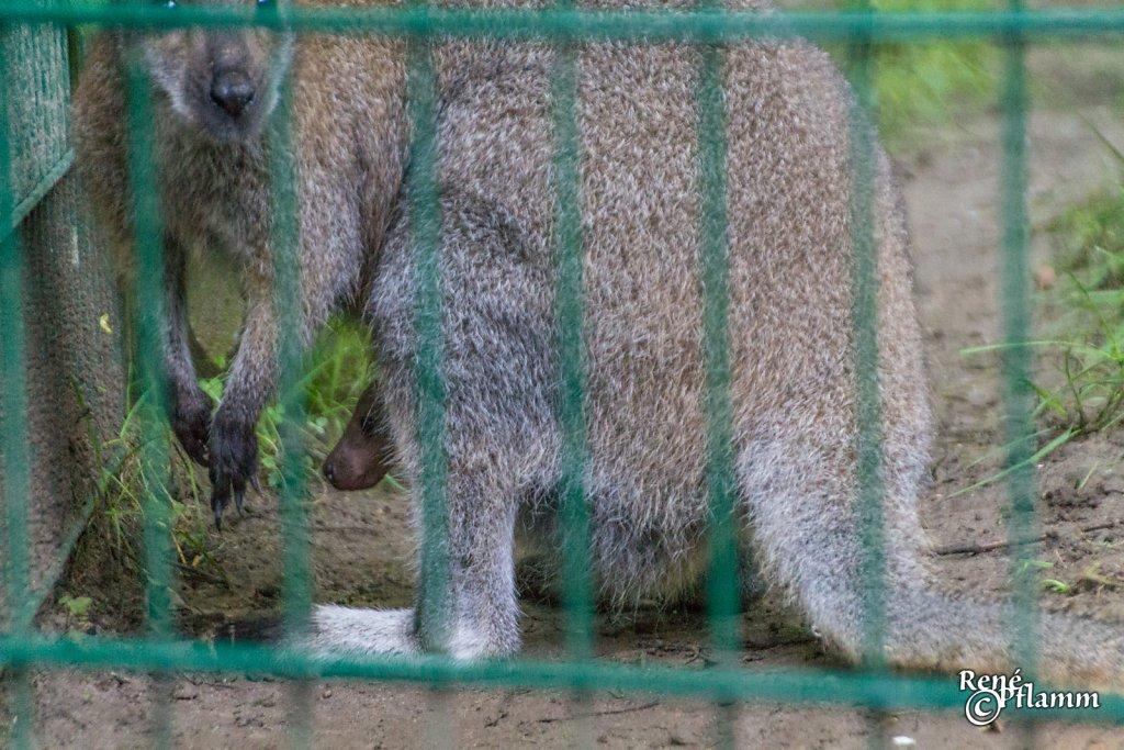 Kängurubaby im Beutel seiner Mutter